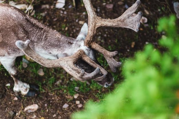 Brown deer antlers in nature top view