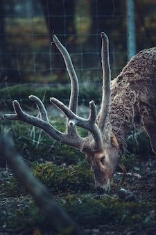 Коричневый олень ест траву на огороженной территории