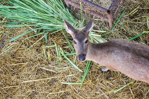 Brown deer female full grown at eat grass fresh grass and hay in natural park. top view