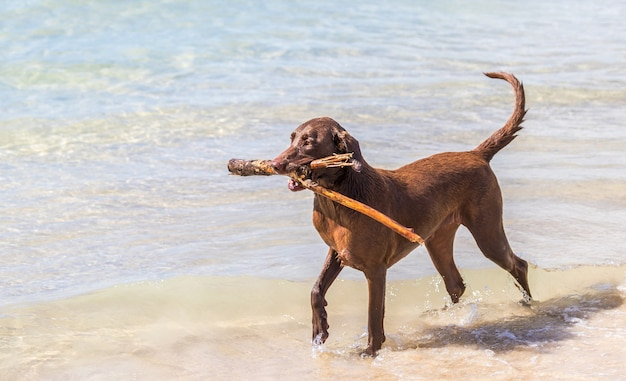 Коричневая собака с палкой во время прогулки по пляжу