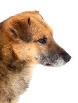 Коричневая собака крупным планом в профиль на белом фоне