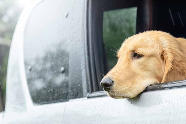 Brown dog (golden retriever) sitting in the car at the raining day. traveling with animal concept