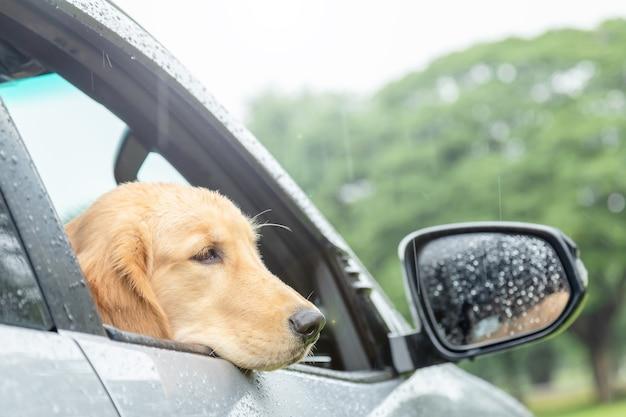 비가 오는 날에 차에 앉아 갈색 개 (골든 리트리버). 동물 컨셉으로 여행
