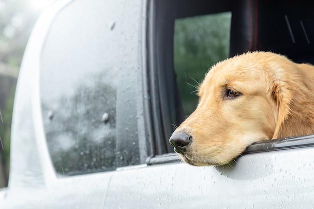 Коричневая собака (золотистый ретривер) сидит в машине в дождливый день. путешествие с концепцией животных