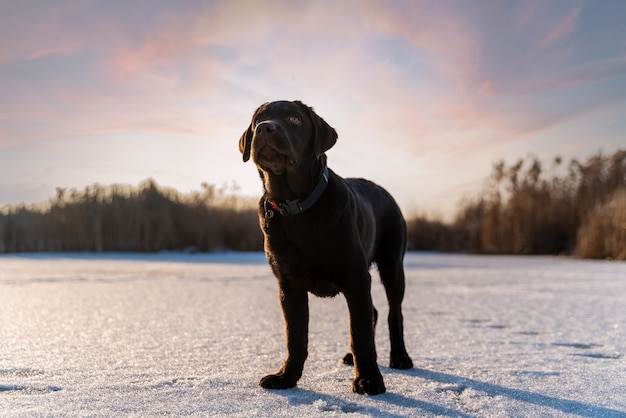 Brown dog labrador in icy conditions
