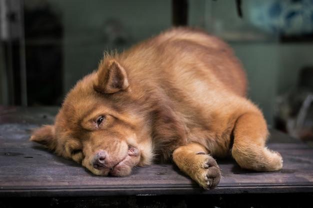 Brown dog lying on the table