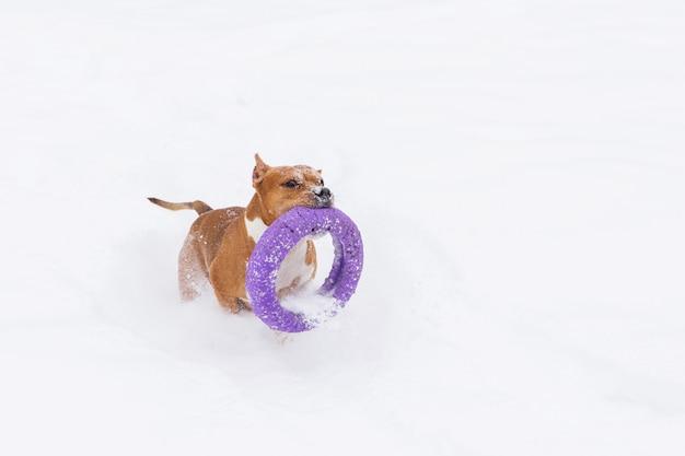 Коричневая собака играя с круглой игрушкой в снеге в лесе. стаффордширский терьер. бегущая собака