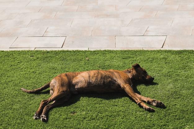 草で眠っている茶色の犬