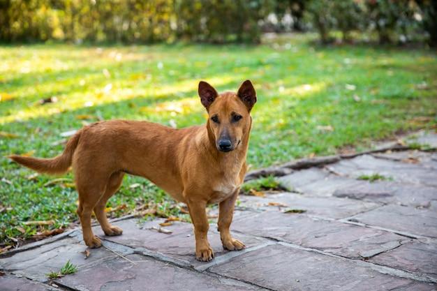 Brown dog standing in the garden
