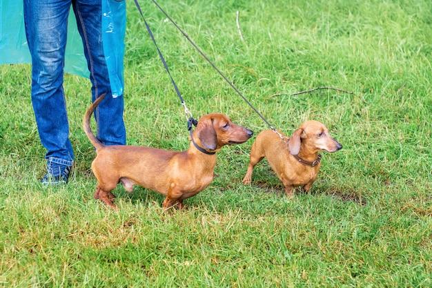 Коричневые собаки такса гуляет в парке