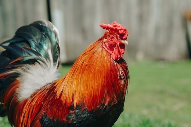 Коричневая домашняя курица гуляет по саду