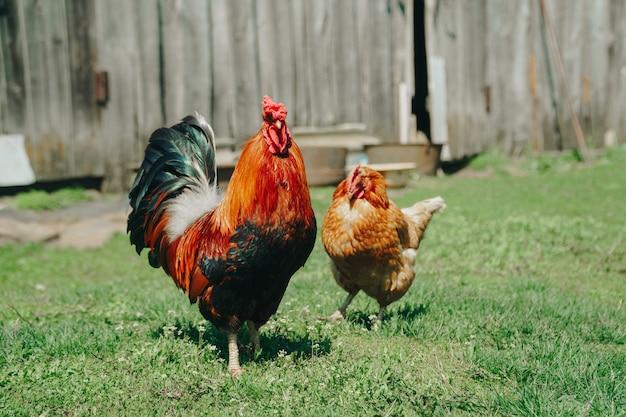 Коричневые домашние цыплята гуляют в саду