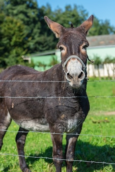 Brown donkey portrait in a summer day