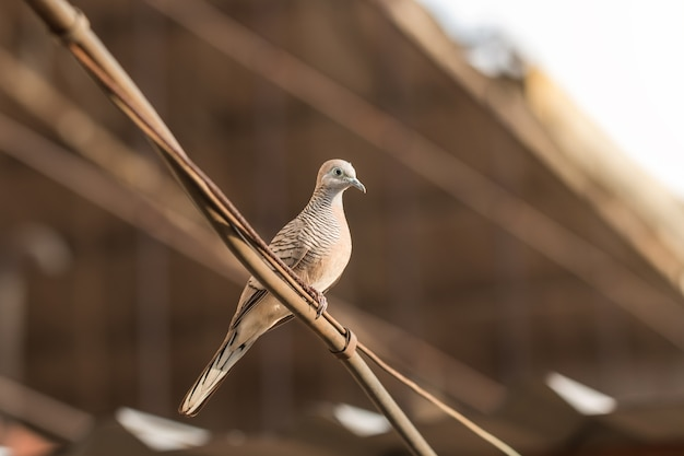 Brown dove perched on the cable against a brown roof background.