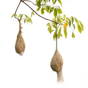 Гнездо птицы коричневой сухой травы птицы ткача на дереве изолированном на белизне