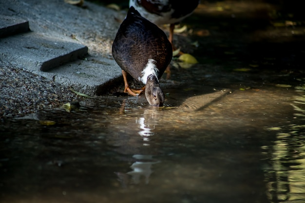 Brown duck drinking water in a pond