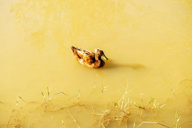 自然環境、日光の下で池に浮かぶ茶色のアヒル