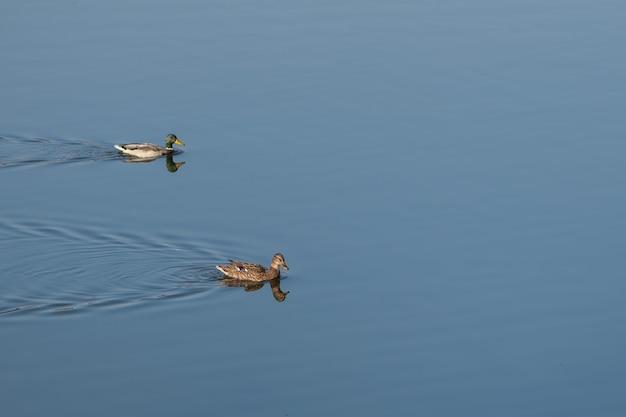 茶色のアヒルが湖の青い水の上を泳いでいます