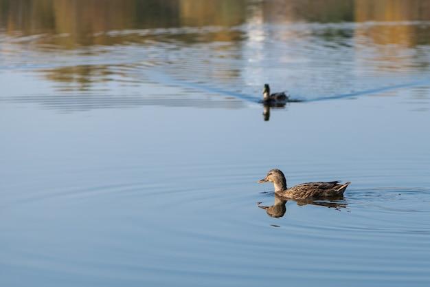 Коричневая утка плавает по голубой воде озера