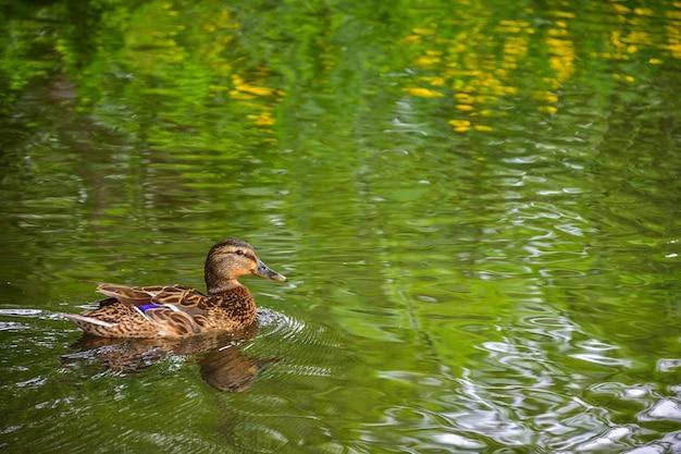 茶色のアヒルはアヒルの水泳アヒルの湖の景色を泳ぐ