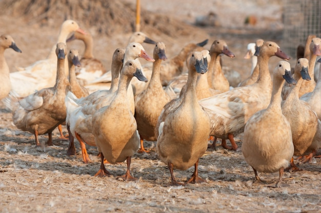 Brown ducks in farm