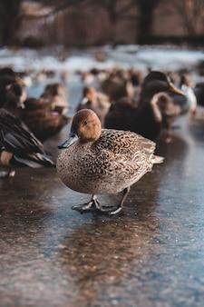 Группа коричневых уток в парке
