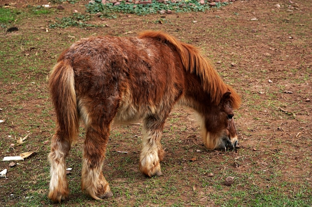 Brown dwarf horse in animals farm