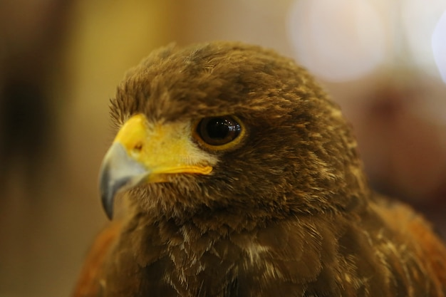 Brown eagle eye