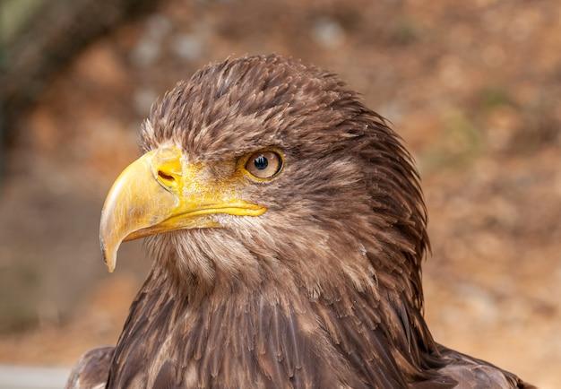 Коричневый орел в портрете