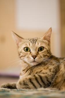 Коричневая европейская короткошерстная кошка