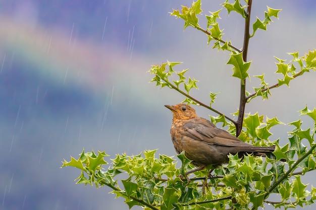 백그라운드에서 푸른 하늘과 무지개와 녹색 잎을 가진 나무에 자리 잡고 비에 갈색 여성 블랙 버드