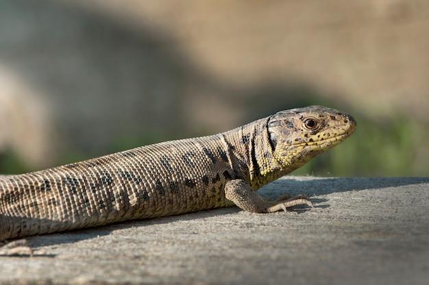 茶色の雌のニワカナヘビ