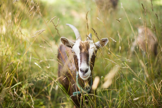 Brown feral goat in a grassy field during daytime