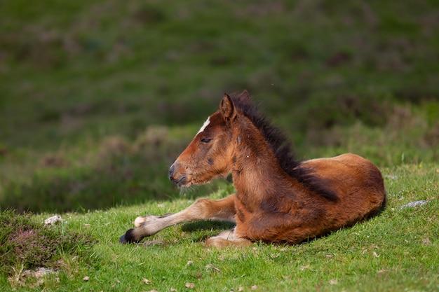 背景がぼやけて緑に覆われた丘に囲まれた地面に横たわっている茶色の子馬