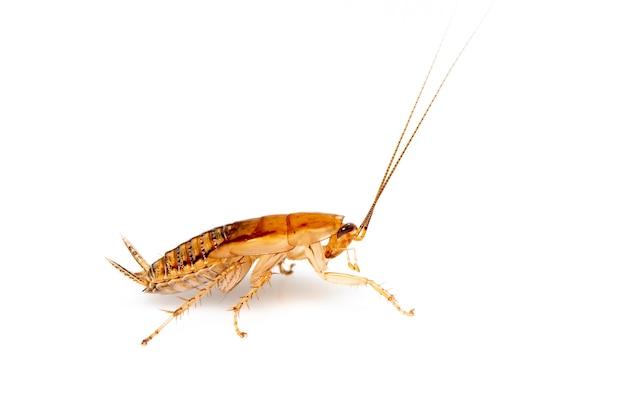 갈색 숲 바퀴벌레. 측면에서. 곤충. 동물
