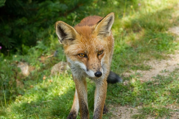 Brown fox on a dirt path with an intense look on his face