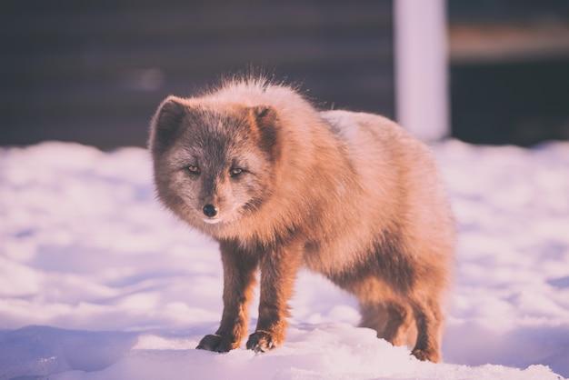 昼間は雪に覆われた地面に立っている茶色のキツネ