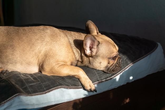 ブラウンフレンチブルドッグはベッドで寝ています。セレクティブフォーカス。