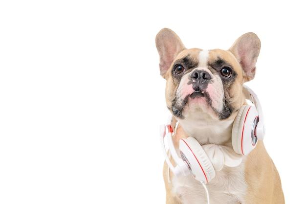 茶色のフレンチブルドッグは白で隔離の白いヘッドフォンを着用