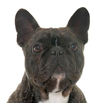 Brown french bulldog