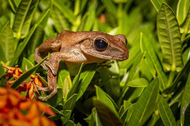 Коричневая лягушка на зеленых листьях крупным планом