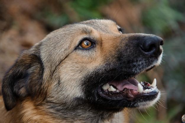 自然の中で外で口を開けて目をそらす茶色の生姜のホームレス犬