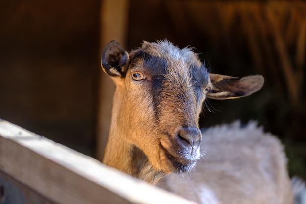 농장에서 헛간 염소에 갈색 염소
