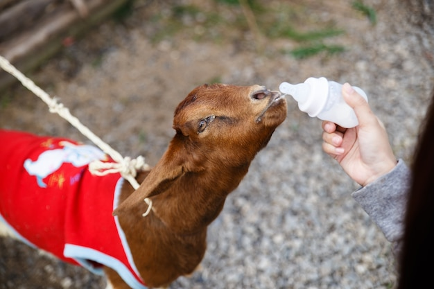 The brown goat is sucking a bottle of milk. human's hand is holding the bottle.