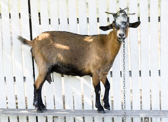 Brown goat on a white wooden fence, looking towards camera