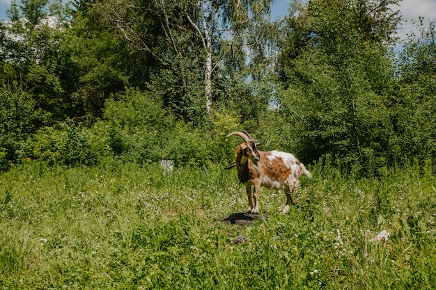 A brown goat stands on a stone in a field