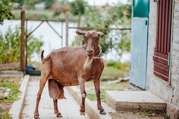 農場で大きな乳房を持つ茶色のヤギ