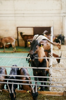Brown goat with large horns watches the feeding of the goats