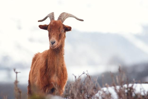 冬の長い角を持つ茶色のヤギ