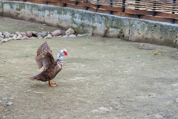 The brown goose is trying to take off. white head and red beak